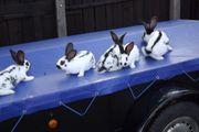 Kaninchen-Riesenschecken Zibben Böcke