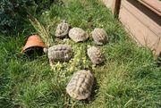 Griechische Landschildkröten NZ2012 weiblich und