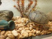 Moschusschildkröte