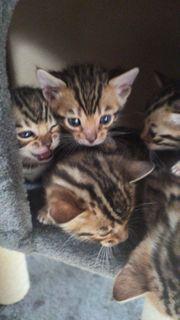 Rassenkatzen