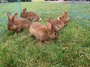 Verkaufe junge Hasen Kaninchen Stallhasen