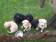 Süße Labrador Welpen Abgabebereit
