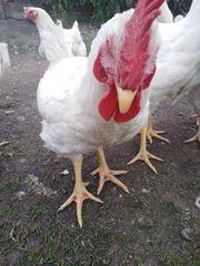 SONDERANGEBOT 4-5kg Fleischhähnchen zu verkaufen