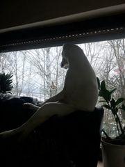 reinrassige Labradorwelpen zu verkaufen