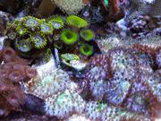 Fungia Rainbow dnz 15 -