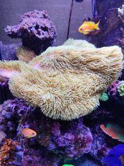 Meerwasser Aquarium Lederkoralle Grün Ableger