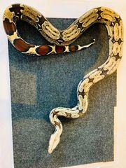 Boa Constrictor Constrictor Surinam