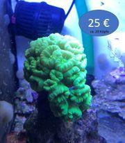 Korallen Korallenableger - Gorgonien Anemone Zoanthus