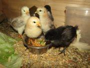6 Hühner- Küken verschiedene Farbschläge