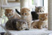 Scottish Fold Kätzchen Kitten