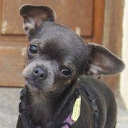 Daisylein 1 5 Jahre - Chihuahua -