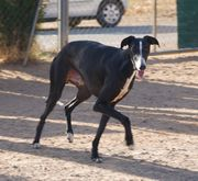 Once Galgo in Spanien sucht