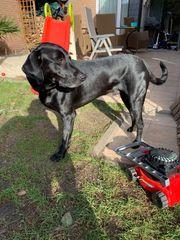Labrador-Dogge Mischling