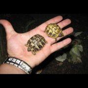 Griechische Land Schildkröten Babys weiblich