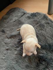 Chihuahua Welpen zwei Rüden