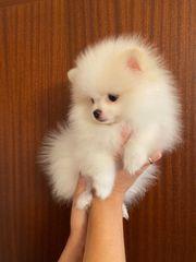 Mini Zwergspitz Pomeranian