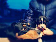 Deckrüde - Appenzeller Sennenhund -