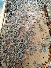 Bienen zu Verkaufen