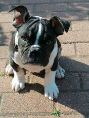 Old English Bulldog Welpe