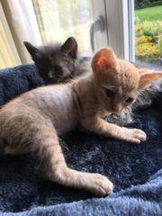 2 süße Sphinx- Kätzchen männlich