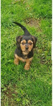 yorkshire terrier mix welpe hündin