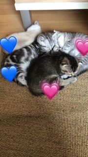 bkh kitten bei interesse melden