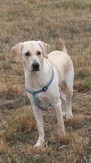 Labrador 1 5 Jahre