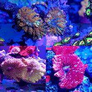 Verschiedene Scheibenanemonen - Discosoma Rhodactis Meerwasser
