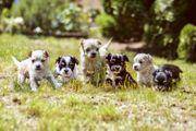 Malteser Chihuahua Welpen