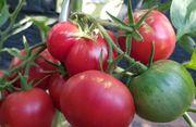 Set2 Tomate Berner Rose - Inhalt