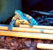 verschiedene Schildkröten abzugeben