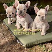 Französische Bulldogge welpen gghcg
