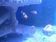 Clownfisch - Pärchen Meerwasser Selbstabholer Rosenheim