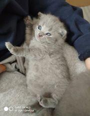 3 reinrassige BKH Kitten - blue