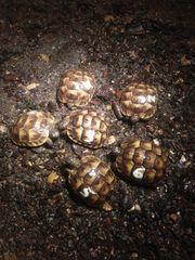 Maurische Schildkröte Tetudo graeca