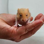 Goldhamster Hamster Babys