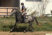 Irish Sport Horse