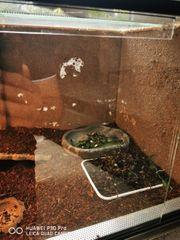 bartagame terrarium ohne Wärme Lampe
