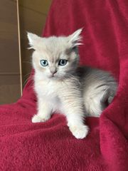 Süße BKH-Blue-Golden Kätzchen suchen ein