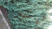 Scheinzypresse Lebensbaum