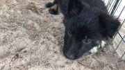 Süße Schäferhund Border Collie Welpen