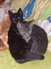zwei süße Kater Katzenbabys suchen