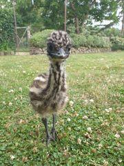 Verkaufe Emu küken