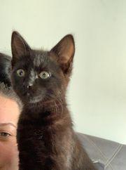 Katze norwegische waldkatze mix