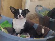 Verkaufe einzigartige Kurzhaar-Chihuahuahündin sehr selbstbewusst