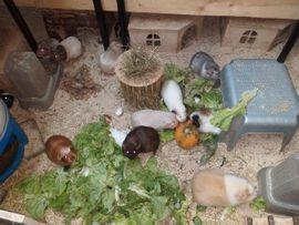 Bild 4 - Leih-Meerschweinchen - Bechtheim