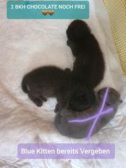Bkh kitten 2 Black-Schoko Kater