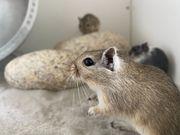 Mäusealarm Hübsche Rennmäuse Gerbils