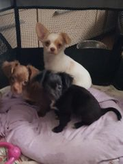 habe noch 1 Chihuahua Mädel