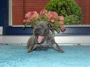 Französische Bulldoggen Welpen zrzo